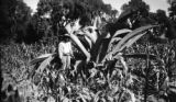 Mexico, man next to large maguey in corn field in La Magdalena Atlipac