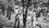 Trinidad and Tobago, Harriet Platt and Mr. Freeman examining cocoa tree at River Estate