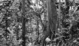 Costa Rica, man under banyan tree in forest in Limón Province