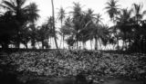 Trinidad and Tobago, large pile of coconut husks in grove