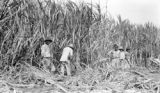 Basse-Terre Arrondissement (Guadeloupe), laborers cutting sugarcane