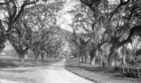 Trinidad and Tobago, road lined with saman trees in Saint James