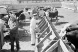 Canada, cattle feeding in stockyard