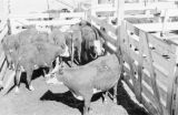 Canada, cattle in pen at farm