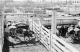 Canada, farmers with cattle in pens at farm