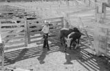 Canada, cattle at Winnipeg Livestock Exchange