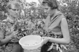 Canada, women collecting fruit from tree in Saskatchewan