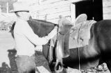 Canada, man saddling horse at stable in Calgary