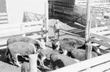 Canada, farmer with cattle in pen at farm