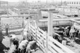Canada, farmer with cattle in pens at farm
