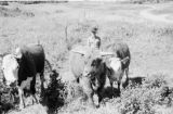 Canada, farmer with highland cattle and cows on farm in Calgary