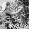 Costa Rica, woman collecting coffee beans in field