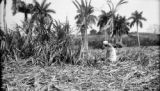 Cuba, woman harvesting sugarcane at Finca Río Hondo