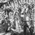 Guatemala, men harvesting bananas at plantation