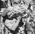 Guatemala, man carrying harvested bananas on plantation