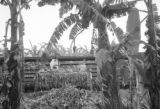 Guatemala, loading bananas onto freight car at Maya Farm near Quiriguá