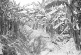 Guatemala, irrigation ditch between rows of banana plants at Maya Farm near Quiriguá