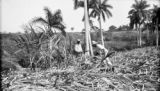 Cuba, workers harvesting sugarcane at Finca Río Hondo