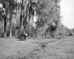 United States, cattle grazing in northeast Wakulla county