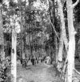 Trang province (Thailand), forest of rubber trees