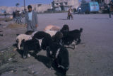 Esfahan province (Iran), man tending sheep and goats in town square