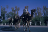 Esfahan province (Iran), man riding camels down paved road