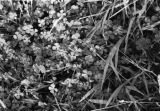 China, one of several close-up views of clover-like plants