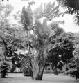 Manila (Philippines), traveler's palm at Mehan Gardens