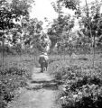 Kabasalan (Philippines), Dr. Copeland and A. H. Muzzall on path with rubber trees