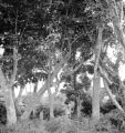 Jolo (Philippines), largest rubber trees in Philippines