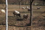 Syria, sheep grazing on a farm