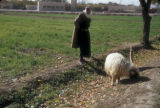 Damascus (Syria), shepherd and his herd of sheep