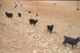 Malula (Syria), herd of goats