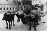 India, oxen cart and driver