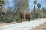 Syria, women hauling dried licorice along a road