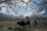 Syria, farmer plowing with an ox-team