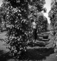 Chanthaburi Changwat (Thailand), man standing next to old pepper plants