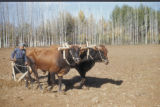 Damascus (Syria), farmer plowing with cattle