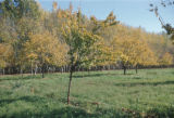Syria, orchard near a farm