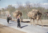 Syria, pack animals hauling wood