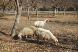 Syria, group of goats grazing