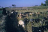 Esfahan province (Iran), sheep and goats grazing in a meadow