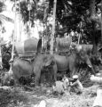 Yala Changwat (Thailand), elephants for the governor's trip
