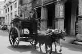 Singapore, man driving wagon with oxen in street