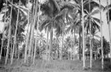 Malaysia, view of rubber plantation through palm trees