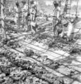 Chiang Mai Changwat (Thailand), men examine strawberry plants