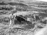 Shanxi province (China), man with oxen pulling carts on muddy path