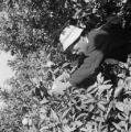 Japan, man picking citrus fruit in orchard in Shimizu