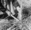 Japan, man cutting grain with sickle in field in Kurisu