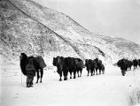 China, camel caravan transporting kerosene oil through snow covered mountain pass